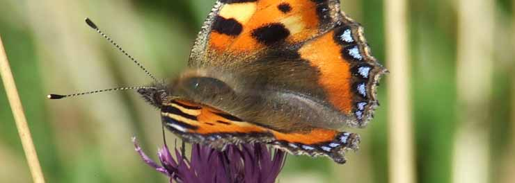 Tortoiseshell on Knapweed crop.jpg