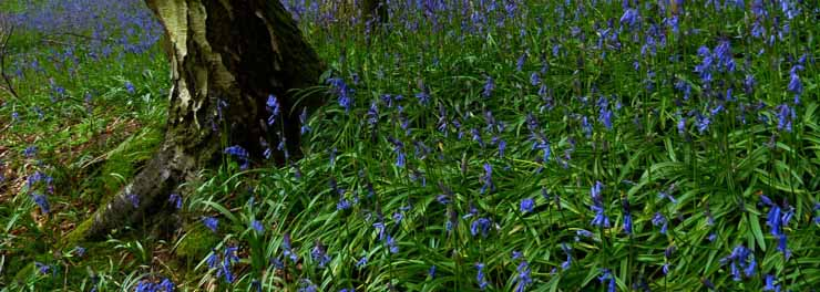 BLUEBELLS, ANGELA HUNTER - Crop.jpg
