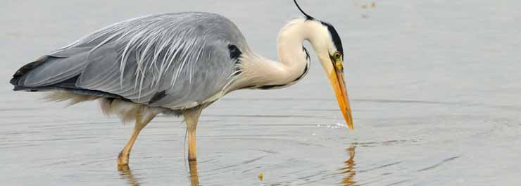 Heron-D0598 crop - Copy.jpg