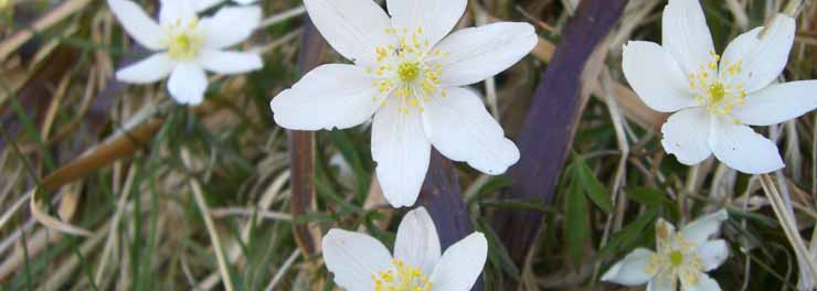 Wood Anemone carrifran MB crop.jpg