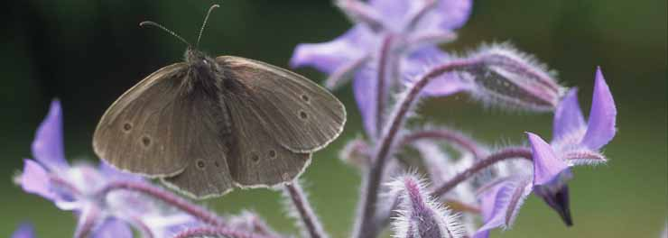 Ringlet on Borage (Keith Robeson) crop.jpg