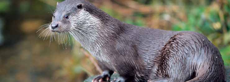 Otter-01 crop - Copy.jpg