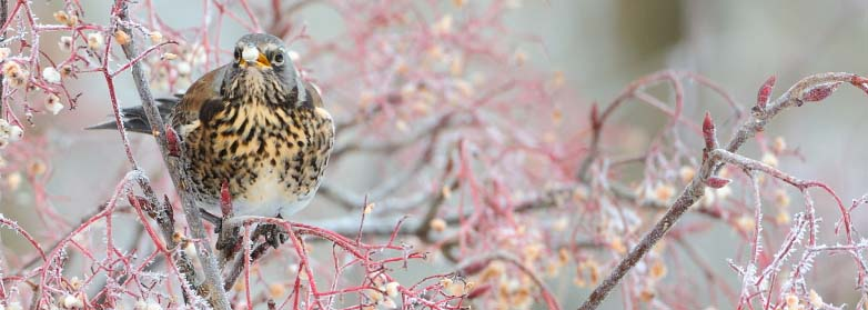 Fieldfare-D9955 crop.jpg