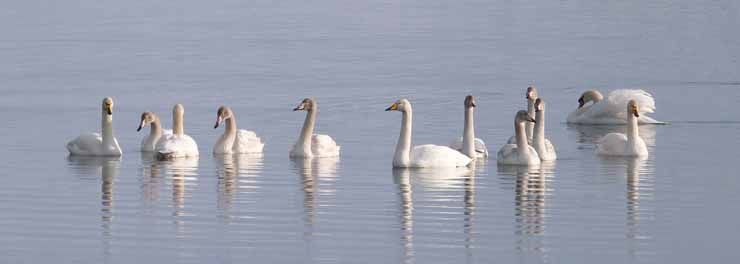 WHOOPER SWAN ANGELA HUNTER crop.jpg